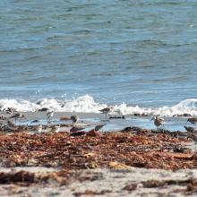 Common ringed plover and dunlin at the Beach at sub-site Kviljo
