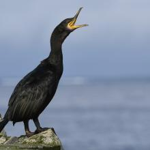 European shag, one of many seabird species breeding at Sklinna