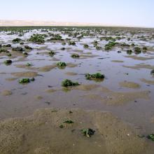 Musselbeds on the mudflats, looking east.