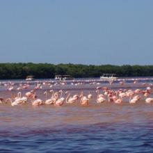 American Flamingos (Phoenicopterus ruber) congregating in shallow areas of the lagoon in Ría Celestún, one of their main resting and feeding habitats in the Yucatan Peninsula. Boats approach the flamingos to a certain extent in order not to scare them away.