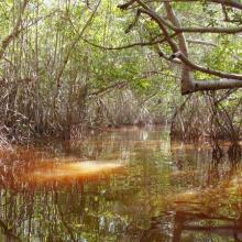 Inside the Red Mangrove Forests. The lagoon itself acquires the red colors given by the mangrove tannins.