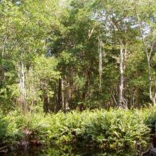 "An island of high rise forests (Peten) amidst the mangrove, due to the presence of a freshwater spring typically called ""ojo de agua""."