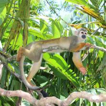Mono Ardilla en el PN Yasuní