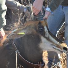 Collaring of Sable Antelope