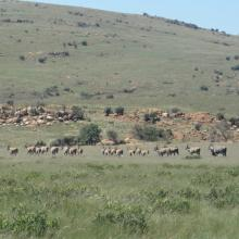 Eland, Kgaswane Mountain Reserve