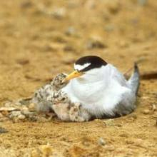 Endangered least tern and chicks.