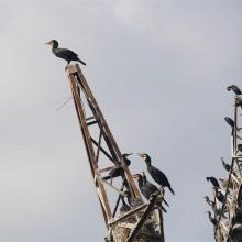 Poda site, cormorants