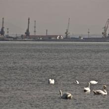 Poda site, swans