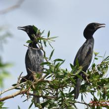 Phalacrocrorax niger