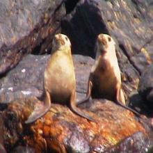 Lobo marino californiano (Zalophus californianus)