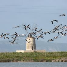 A flock of Flamingos (Phoenicopterus ruber), an old mill on the background and Favignana Island