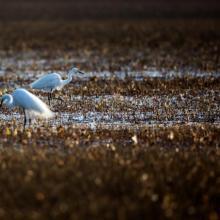 Egrets in Daebudo Tidal Flat
