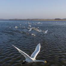Swans in Daebudo Tidal Flat