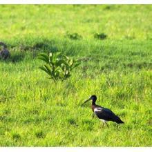 Abdim Stork at  Monavale Vlei
