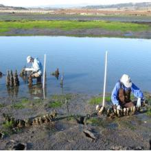 Oyster Restoration Reef