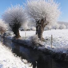 Saules têtards sous la neige