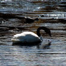 Cisne cuello negro (Cygnus melancoryphus)
