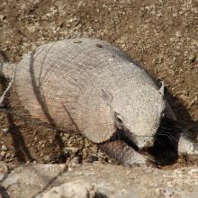 Peludo (Chaetophractus villosus )