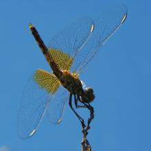 Libélula (Anisoptera)