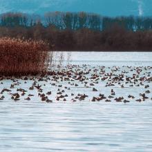 Rassemblement de canards hivernants dans la Baie d'Yvonand