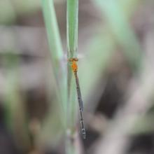 3_damselfly_female