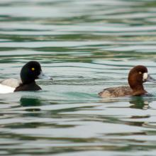 4_scaup1