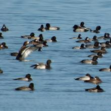 5_scaup2