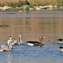 Bar-headed Geese and Greater white-fronted Geese at Nangal wetland