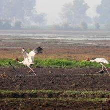 Sarus Crane at Keshopur-miani community reserve