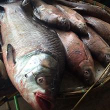 Fish of Songkhram River