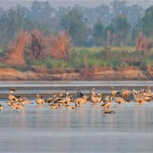 Flock of Bar-headed Geese in River Beas