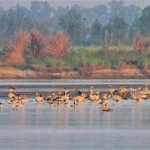 Flock of Bar-headed Geese in River Beas
