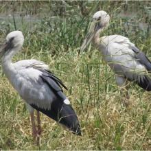 A pair of Asian open-billed stork at Saman Bird Sanctuary