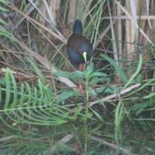 Râle d'Olivier : Amaurornis olivieri (EN)