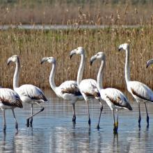 Close up of Flamingos wintering at Ulcinj Solana