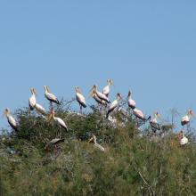 héronnière de la zone du crocodile (zone nord du parc)