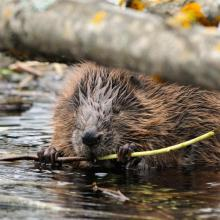 The Eurasian beaver is found throughout the whole territory of the Reserve, inhabiting both the Berezina River and its numerous tributaries.