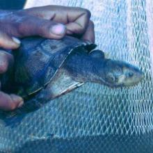 Erymnochelys madagascariensis au lac Kinkony