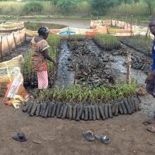 reboisement avicennia africana