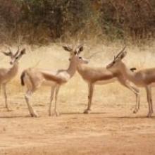 Gazelles dorcas