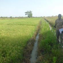 Riziculture avec un système d'irrigation gravitaire