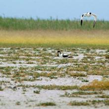 Alkaline steppes with Avocets in the Kiskunság
