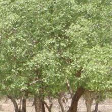 Peuplement pur d'Anogeissus leiocarpus
