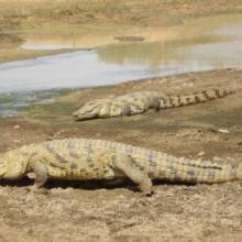 Crocodiles du Sourou