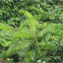 Laccosperma secundiflurum