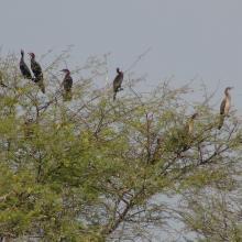 Cormorans au lac Magui