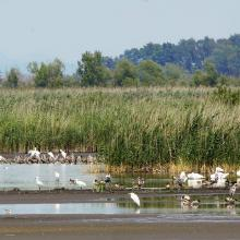 Flocking waterbirds on the mudbanks of the Ingó Grove at the Kis-Balaton.