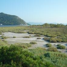 Blace Bay - Salicornia europea