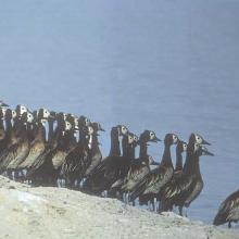 Bande de Dendrocygnes fauves au bord du lac Débo