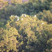 Yellow crested cockatoo in the mangrove forest